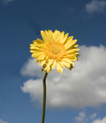 Yellow Gerbera against blue sky